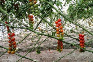 Cómo Podar Tomates 【TENEMOS TODA LA INFORMACIÓN】