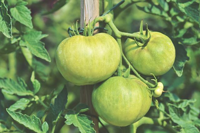 como podar tomates