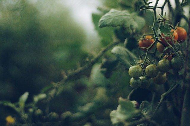 despunte de tomates