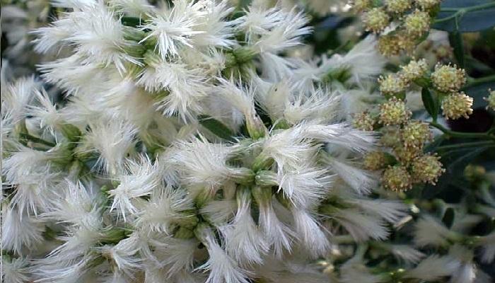 Planta Chilca